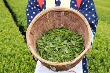 緑茶は朝飲むと体にいい