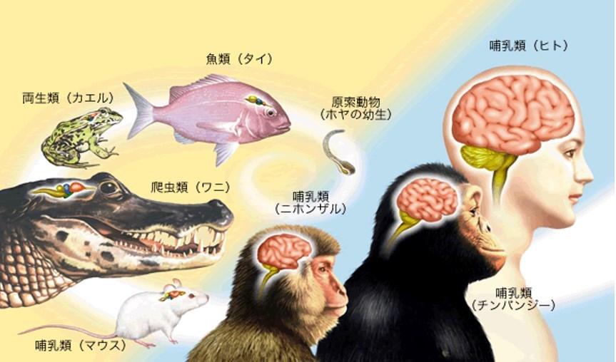 人間と動物の脳の基本構造は同じ