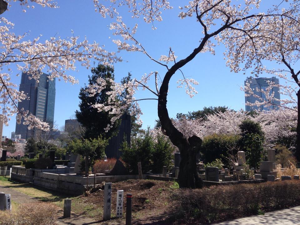 青山霊園ー桜シーズン