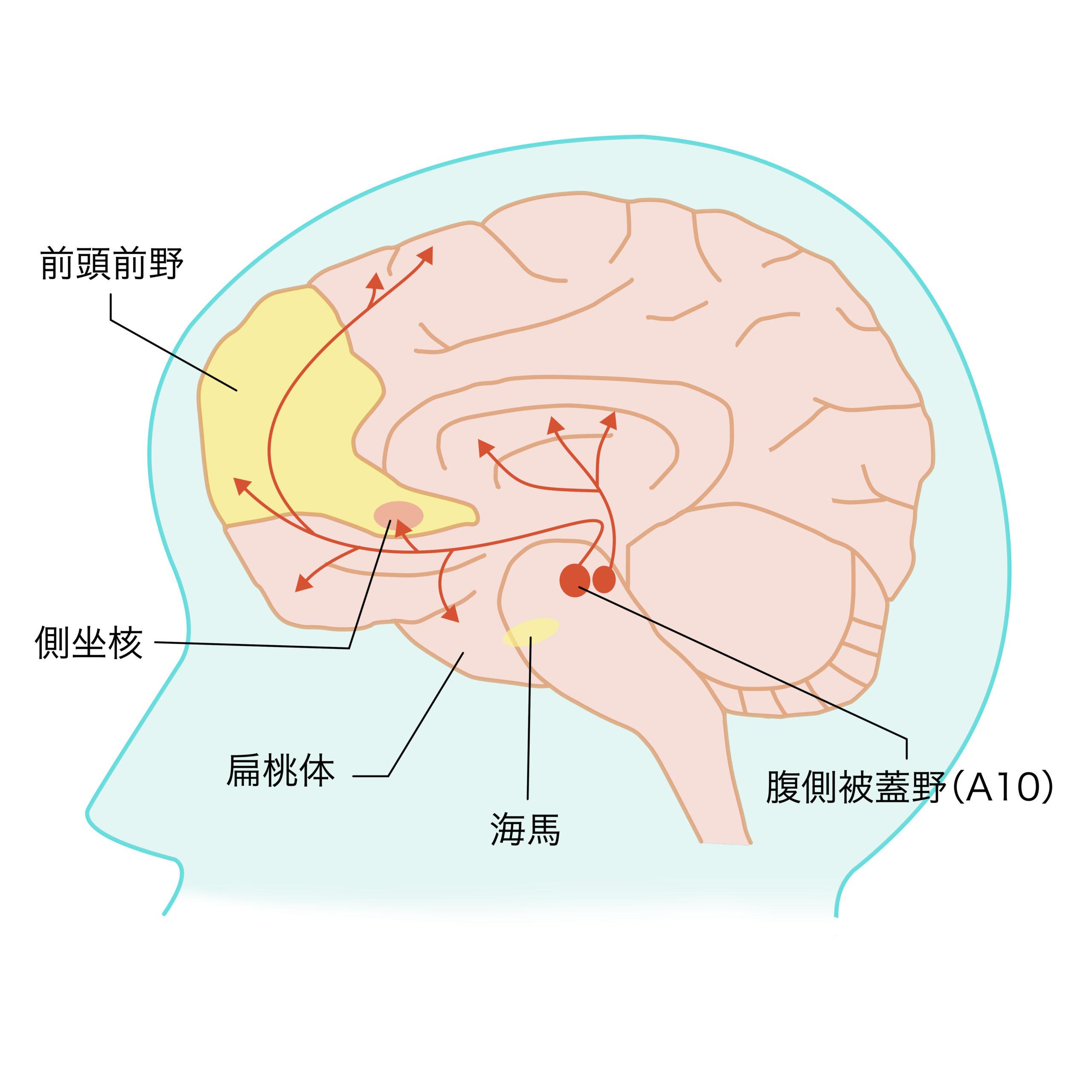 イラスト3_脳のイラスト修正